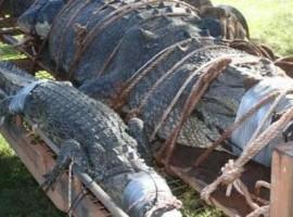 Crocodilo de 60 anos do ´tamanho de um carro´ é capturado e choca